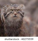 Portrait Of Cute Pallas's Cat