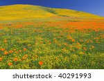 Poppies In Full Bloom At The...