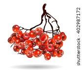 Rowan  Bunch  Rowan Berries ...