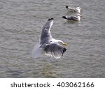 flying seagull over the baltic... | Shutterstock . vector #403062166