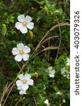 Three Cherokee Rose Blossoms ...