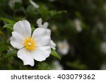 Closeup White Cherokee Rose...