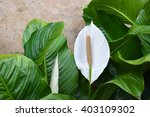 White Spathiphyllum   Peace Lily