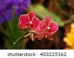 Orchid. Red Orchid. Orchid Is...