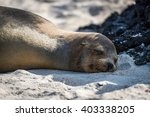 galapagos sea lion asleep on... | Shutterstock . vector #403338205