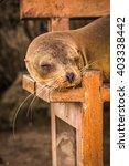 Galapagos Sea Lion Sleeping On...