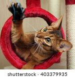 Stock photo cat playing with toy feathered pole 403379935