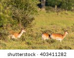 Flock Of Fallow Deer On A Meadow