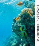 Two Red Sea Banner Fish And In...