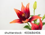 red lily on the white background