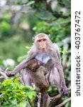 Small photo of baby macaque suck up milk from, mother, sit on branch