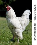 Small photo of white brahma rooster walking in a garden