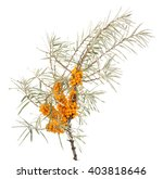 Branch Of Sea Buckthorn With...