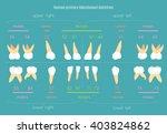 human dental numbering system... | Shutterstock .eps vector #403824862