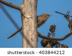 Small photo of Jungle Babbler perched