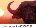 The African Buffalo Or Cape...
