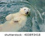 Polar Bear Swims In The Water...
