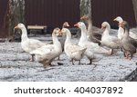 Geese In The Winter Nature