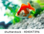 goldfish sucks a rocks in the... | Shutterstock . vector #404047396