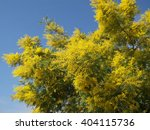 Yellow blooming mimosa branches on blue sky background  - stock photo