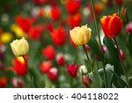 close up view of tulip in the... | Shutterstock . vector #404118022