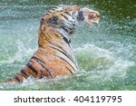 Eating Tiger In The Water