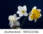 three blooming daffodils   Shutterstock . vector #404121436