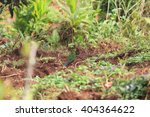 Small photo of Papuan king parrot (Alisterus chloropterus) female in Papua New Guinea