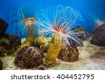 Sea Anemone  Anemone  With...