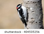 Male Downy Woodpecker On Tree...