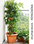 tomato plant with green and red ... | Shutterstock . vector #404626066