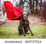 a chocolate labrador retriever ... | Shutterstock . vector #404737516