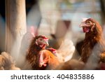 Small photo of Brown hens with focus on middle hen
