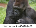 endemic lowland silverback... | Shutterstock . vector #404901628