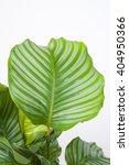 calathea orbifolia | Shutterstock . vector #404950366