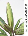 cordyline kiwi | Shutterstock . vector #404981932