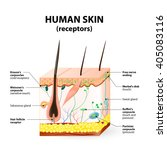 cross section human skin.... | Shutterstock .eps vector #405083116