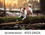 Stock photo dog breed jack russell terrier walking in the forest spring 405118426