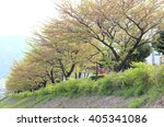 trees with early spring leaves.   Shutterstock . vector #405341086