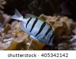 convict surgeonfish  | Shutterstock . vector #405342142