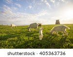 Small Goats And Sheep Grazing...
