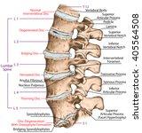 spine disc problems ...   Shutterstock . vector #405564508