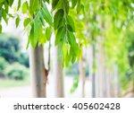 eucalyptus leaves. eucalyptus... | Shutterstock . vector #405602428