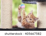 Stock photo maine coon kitten sitting on scratching post playing 405667582