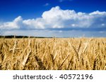 wheat field in summer - stock photo