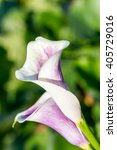 Detail Of Cala Lily Flower...