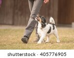 Stock photo perfect footwork with a obedient jack russell terrier dog 405776905