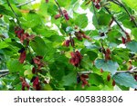 mulberry fruit. mulberry on...   Shutterstock . vector #405838306