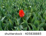Small photo of lonely tulip - individualist