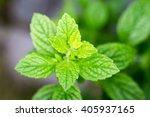 lemon balm   Shutterstock . vector #405937165